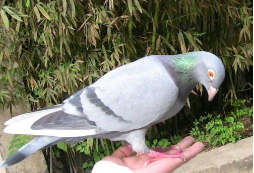 我喜欢的鸽子.jpg
