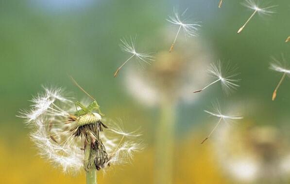 蒲公英的种子.jpg
