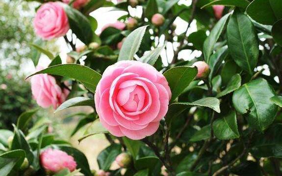 粉红色的茶花.jpg