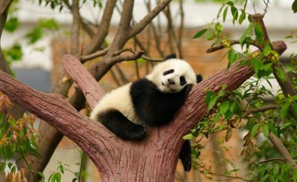 国宝大熊猫作文400字