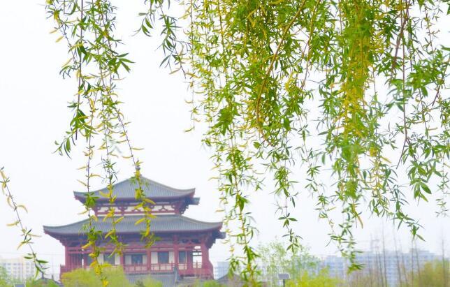春天信使柳树.jpg