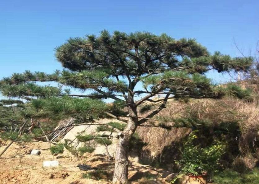 坚强不屈的松树.jpg
