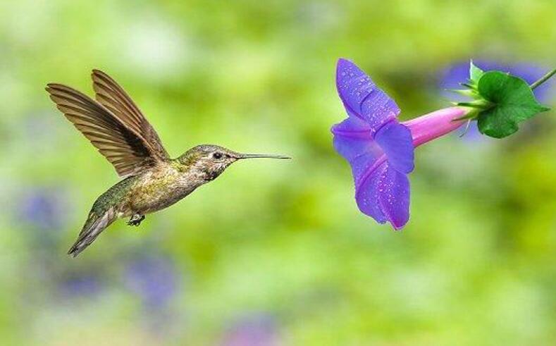 一只蜂鸟.jpg